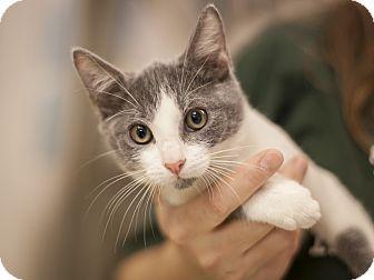 Domestic Shorthair Kitten for adoption in Dallas, Texas - Isaac