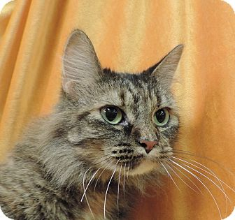 Domestic Longhair Cat for adoption in Sioux City, Iowa - BEAUTY