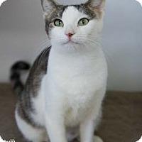 Adopt A Pet :: Solstice - Merrifield, VA