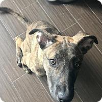 Adopt A Pet :: LaKoda Girl - Salt Lake City, UT