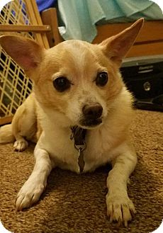Chihuahua Mix Dog for adoption in Madison, Alabama - Finley