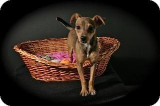 Chihuahua/Dachshund Mix Puppy for adoption in Lufkin, Texas - Jetta