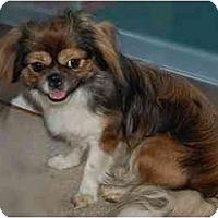 Adopt A Pet :: Jinny - Rigaud, QC