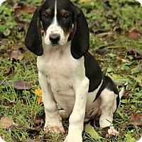 Adopt A Pet :: Mason - Brattleboro, VT