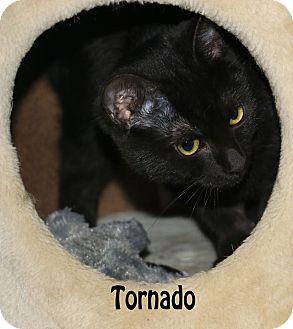 Domestic Mediumhair Kitten for adoption in Idaho Falls, Idaho - Tornado