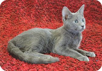 Russian Blue Cat for adoption in Plano, Texas - COLLIN - LOOKS AND PERSONALITY