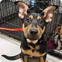 Adopt A Pet :: Sugar Plum Mary-Adopted! - Detroit, MI