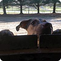 Adopt A Pet :: Duchess - Bowie, MD