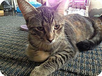 Domestic Shorthair Kitten for adoption in Chicago, Illinois - KATNISS