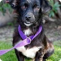 Adopt A Pet :: Anabelle - Sugar Land, TX