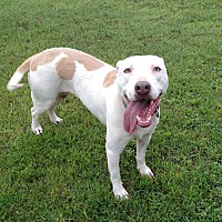 American Pit Bull Terrier/Labrador Retriever Mix Dog for adoption in Georgetown, Texas - Ginger (Adoption Pending)