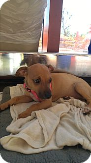 Jack Russell Terrier/Chihuahua Mix Puppy for adoption in LAKEWOOD, California - Gara