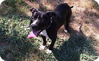 Boxer/Pit Bull Terrier Mix Dog for adoption in Gridley, California - JoJo
