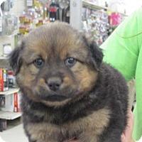Adopt A Pet :: Shavon - Rocky Mount, NC