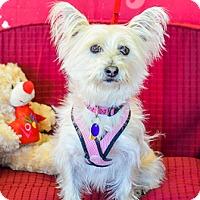 Westie, West Highland White Terrier Mix Dog for adoption in Fremont, California - Heidi D4072