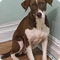 Adopt A Pet :: Lola - Ozone Park, NY