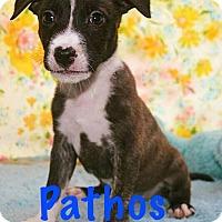 Adopt A Pet :: Pathos - Durham, NC