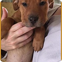 Adopt A Pet :: Little Red - DeForest, WI