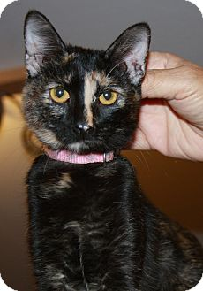 Domestic Shorthair Kitten for adoption in Phoenix, Arizona - Buttercup