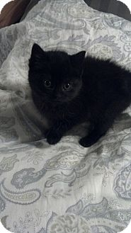 Domestic Mediumhair Kitten for adoption in Sterling Hgts, Michigan - Mystic