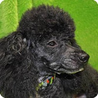 Adopt A Pet :: SPENCER - Elk River, MN