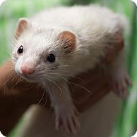 Adopt A Pet :: Wolfee - Balch Springs, TX