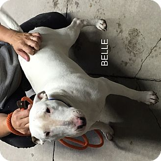 Bull Terrier Dog for adoption in Hibbing, Minnesota - Belle
