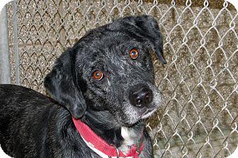 Catahoula Leopard Dog/Labrador Retriever Mix Dog for adoption in Ruidoso, New Mexico - Felix