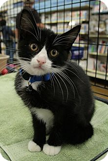 Domestic Shorthair Kitten for adoption in Sacramento, California - Chance