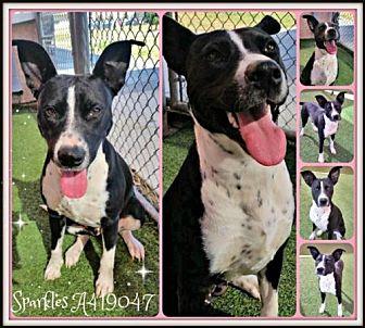 American Staffordshire Terrier Mix Dog for adoption in San Antonio, Texas - SPARKLES