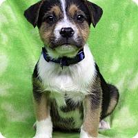 Adopt A Pet :: ROLAND - Westminster, CO