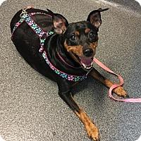 Adopt A Pet :: Pebbles - Southeastern, PA