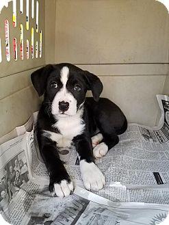 Border Collie Mix Puppy for adoption in Burlington, Vermont - Katie (ADOPTED)