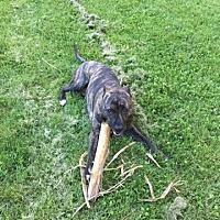 Adopt A Pet :: Griffey - Dayton, OH