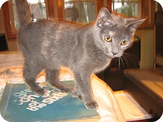 Domestic Shorthair Kitten for adoption in Portland, Maine - Lucille