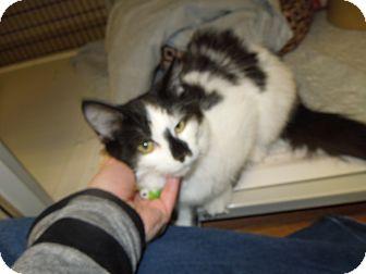 Domestic Mediumhair Cat for adoption in Medina, Ohio - Princess