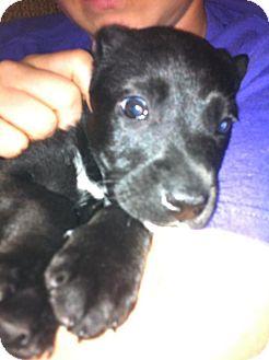 Labrador Retriever Mix Puppy for adoption in Donaldsonville, Louisiana - Cry Baby