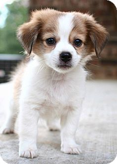 Pomeranian/Chihuahua Mix Puppy for adoption in Somers, Connecticut - Snickers