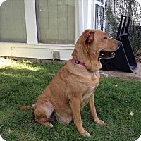 Adopt A Pet :: Didi - Evergreen, CO