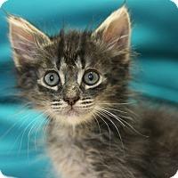 Adopt A Pet :: Meggie - Canoga Park, CA