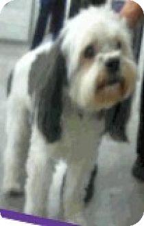 Poodle (Miniature)/Havanese Mix Dog for adoption in Boulder, Colorado - Remy-Adoption Pending