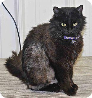 Domestic Mediumhair Cat for adoption in Lansing, Kansas - Cinder
