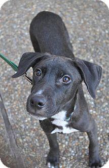 Labrador Retriever/Whippet Mix Puppy for adoption in Atlanta, Georgia - Mitchell