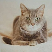 Adopt A Pet :: Lady Gray - Atlanta, GA