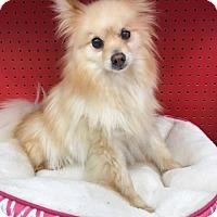 Adopt A Pet :: Wendi (GAPR/Fostered in TN) - Brighton, TN