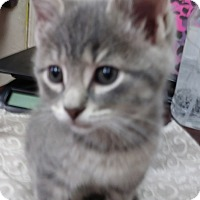Adopt A Pet :: Bam Bam - Trevose, PA