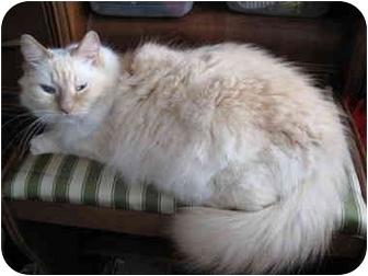 Ragdoll Cat for adoption in Keizer, Oregon - Tawney