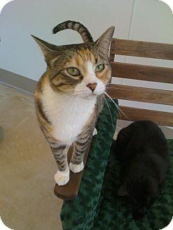 Domestic Shorthair Cat for adoption in Chicago, Illinois - Rasputina