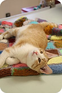 Domestic Shorthair Cat for adoption in Chattanooga, Tennessee - Amelia