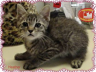 Domestic Shorthair Kitten for adoption in Ozark, Alabama - Heather
